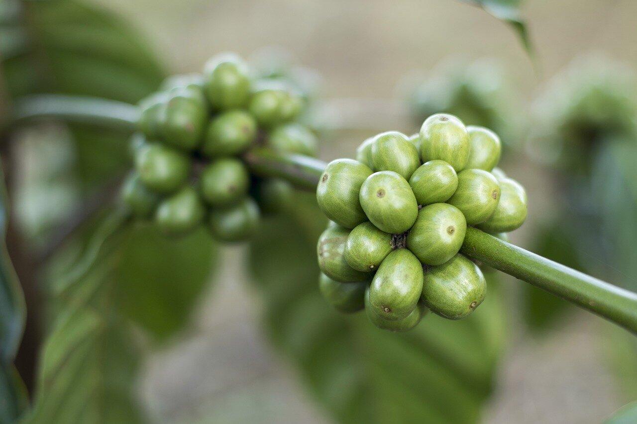 Zielona kawa pure herbs opinie. Czy pijąc zieloną kawę można schudnąć?